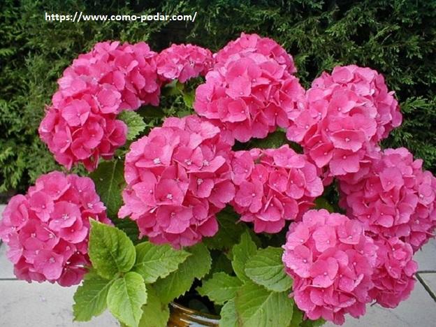 Como Podar Las Hortensias Beneficios De La Poda Cuando Y Como Hacer - Hortensias-cuidados-poda