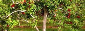 Cómo podar un manzano