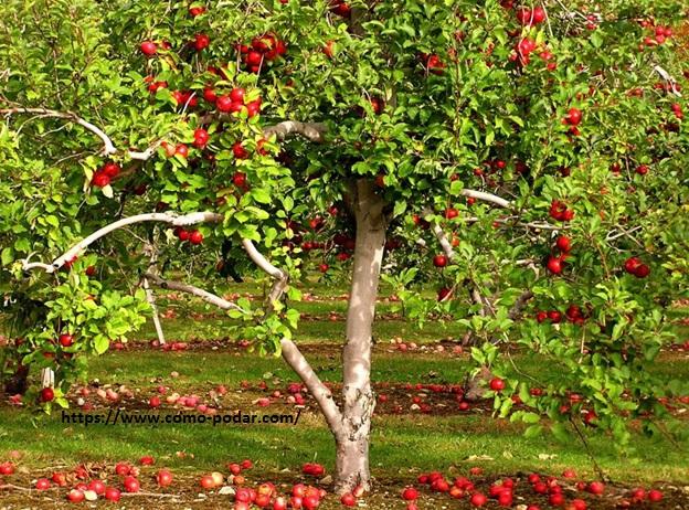 C mo podar un manzano beneficios de la poda cuando y c mo for Como podar un ciruelo de jardin