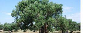 Como podar un olivo