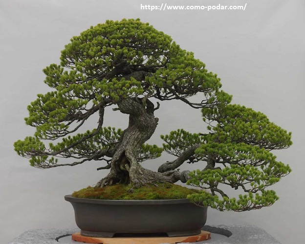 Como podar un bonsai beneficios de la poda cuando y c mo for Tierra para bonsais