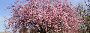 Cómo podar un cerezo