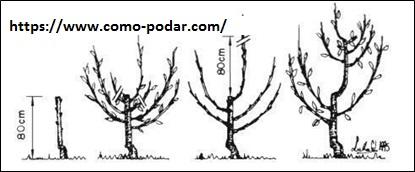 C mo podar un cerezo beneficios de la poda cuando y c mo - Poda del cerezo joven ...