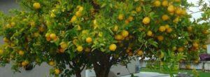 Como podar un limonero