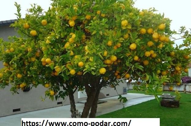 Como podar un limonero beneficios de la poda cuando y for Limonero sin limones