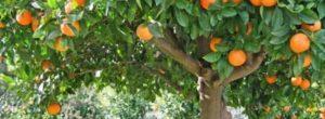 Como podar el árbol de Naranjo.