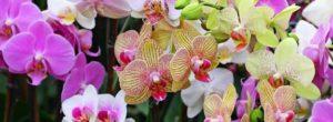 Cómo podar una orquídea