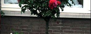 Como podar un rosal de pie alto o en árbol